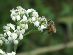 honeybee_on_frostweed_category